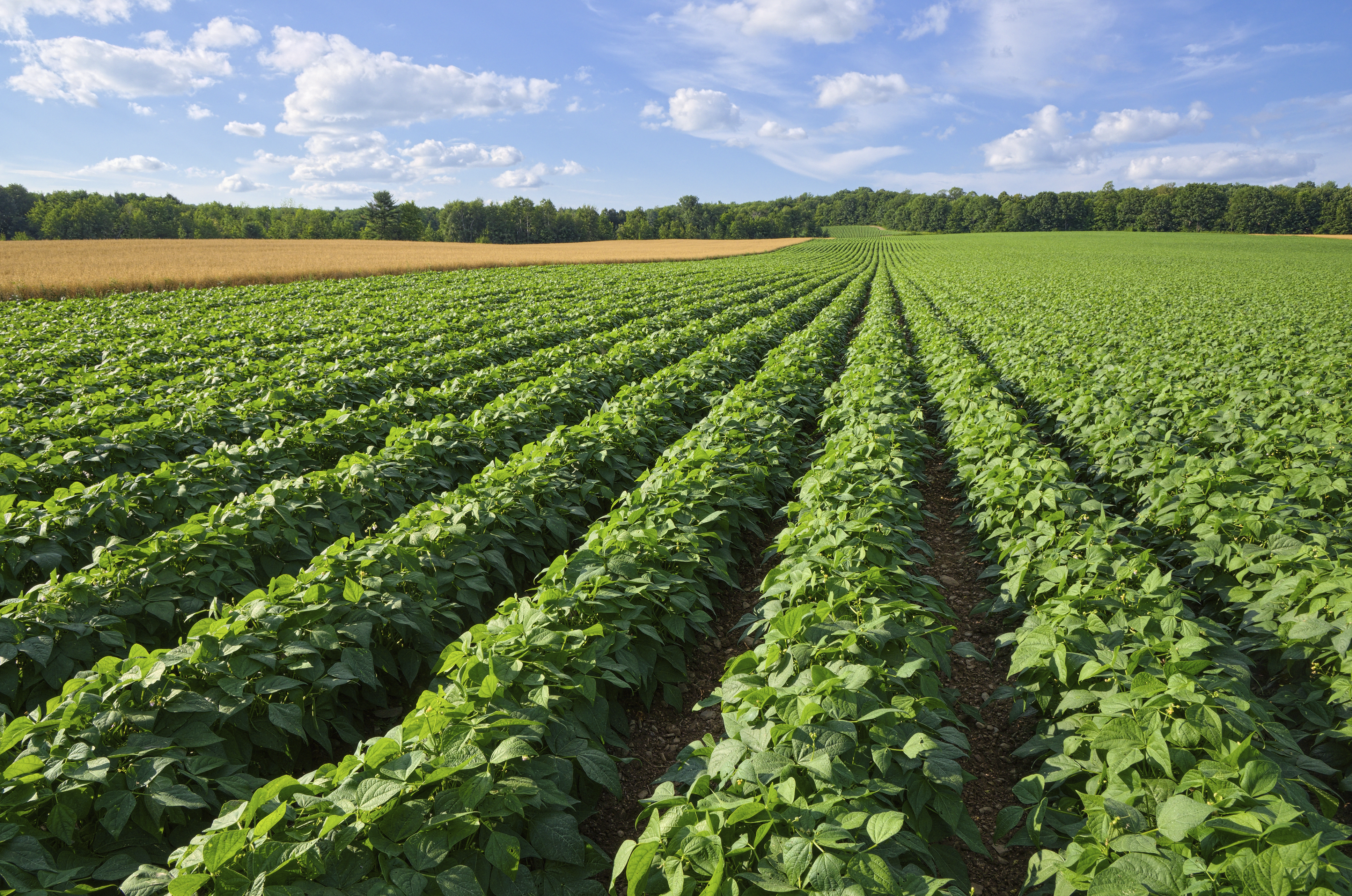 Image of potato field
